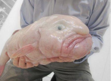 Blobfish mascotte più Brutta al Mondo Ugly Animal Preservation Society