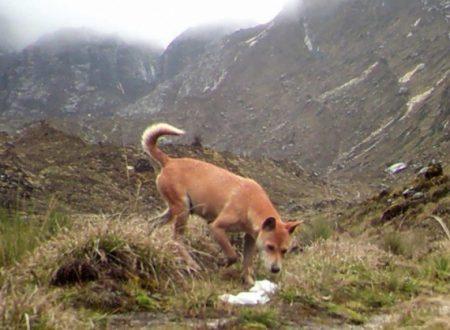 Cane antico selvaggio creduto estinto riscoperto in Nuova Guinea