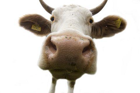 Roma Pecore e mucche come giardinieri