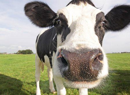 Mandria di mucche 'cattura' un ladro di auto