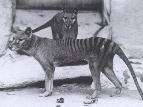 Australia Nuovo video di Benjamin: Ultima tigre della Tasmania